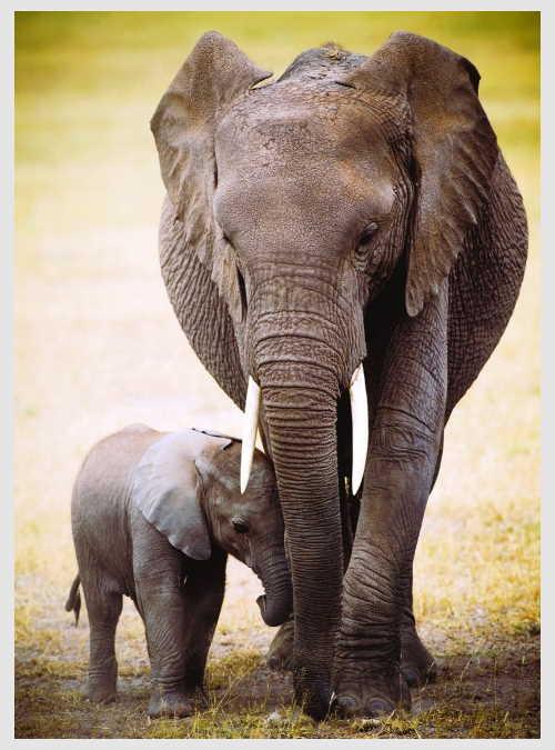 6000-0270-the-elephant-and-baby-elephant-1000pcs