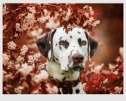 221156-dalmatian-dog-1000pcs