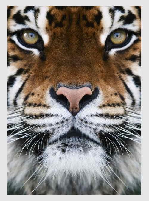 232379-tiger-1000pcs